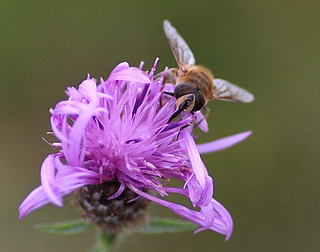 Another Hoverfly