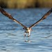Osprey 8_30 The dive by krisinct- Thanks for 12 Million views!