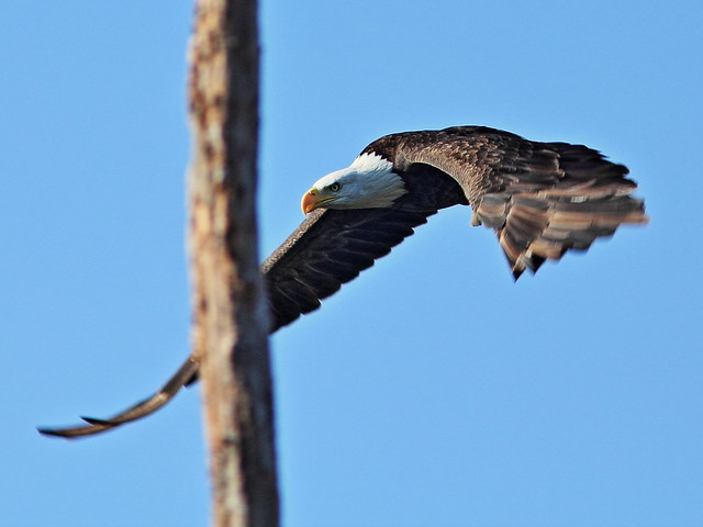 Bald Eagle female 9-20140901