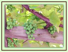 Green Grapes On Pergola