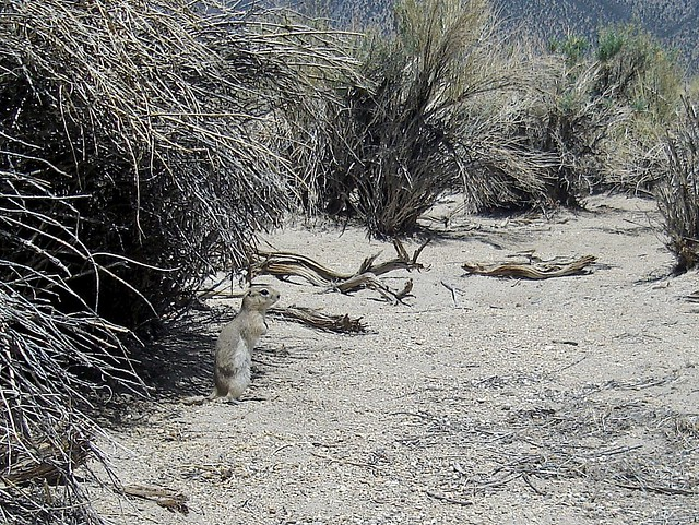 piute ground squirrel