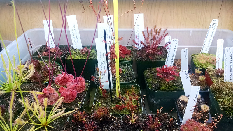 Drosera madagascariensis in the tray with lots of other sundews.
