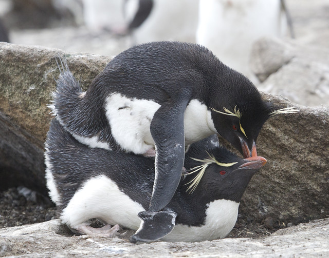 Rockhopper penguins. Getty Images.