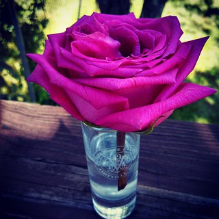 This #rose was broken when Zeus' get well #flowers arrived from @chewy ... Makes a #BiltmoreEstates shot glass look amazing! #love #thankful #Chewy #feelingloved