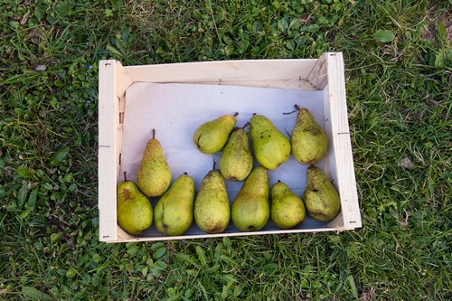 Pears, gift from the neighbour