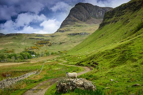 A sheep in Skye