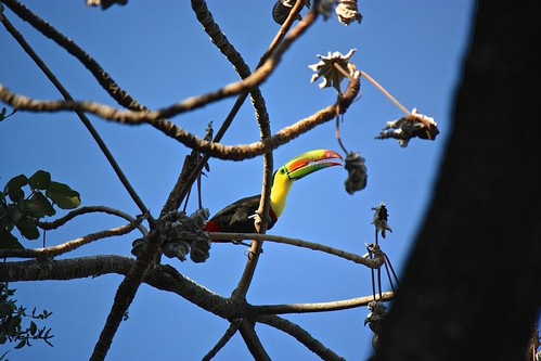 Spotted a bunch of Toucans above our treehouse in Casa Loma!
