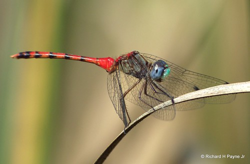 Male Blue-faced Meadowhawk_5325