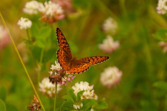 Butterfly in clover - Recent Uploads tagged elymn