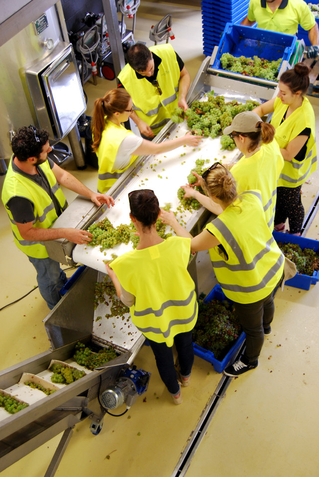 Sorting Grapes in Campo Viejo's Microwinery