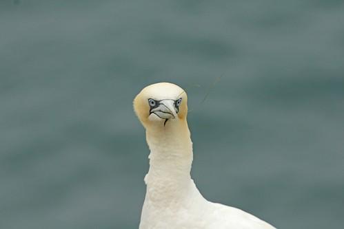 Gannet at Bempton Cliffs