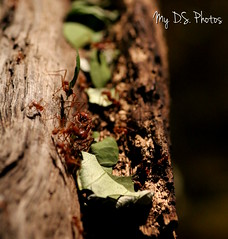 Red ants that likes to carry leaves