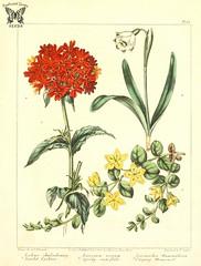 Scarlet Lynchis, Maltese cross ( Silene chalcedonica, as Lychnis chalcedonica), Spring snowflake (Leucojum vernum), and Creeping moneywort (Lysimachia nummularia). The new botanic garden (1812)