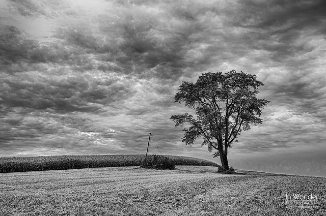 The American Elm tree