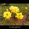 Yellow roses in Galați botanical garden