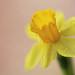 Daffodil 水仙花