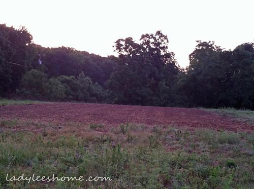 Planting-Buckwheat-11