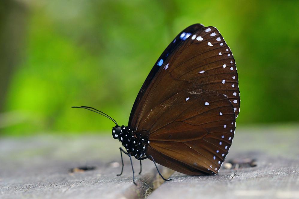 紫斑蝶屬圓翅紫斑蝶14S101