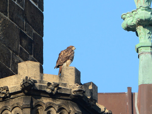 Cathedral Hawk Fledgling (2581)