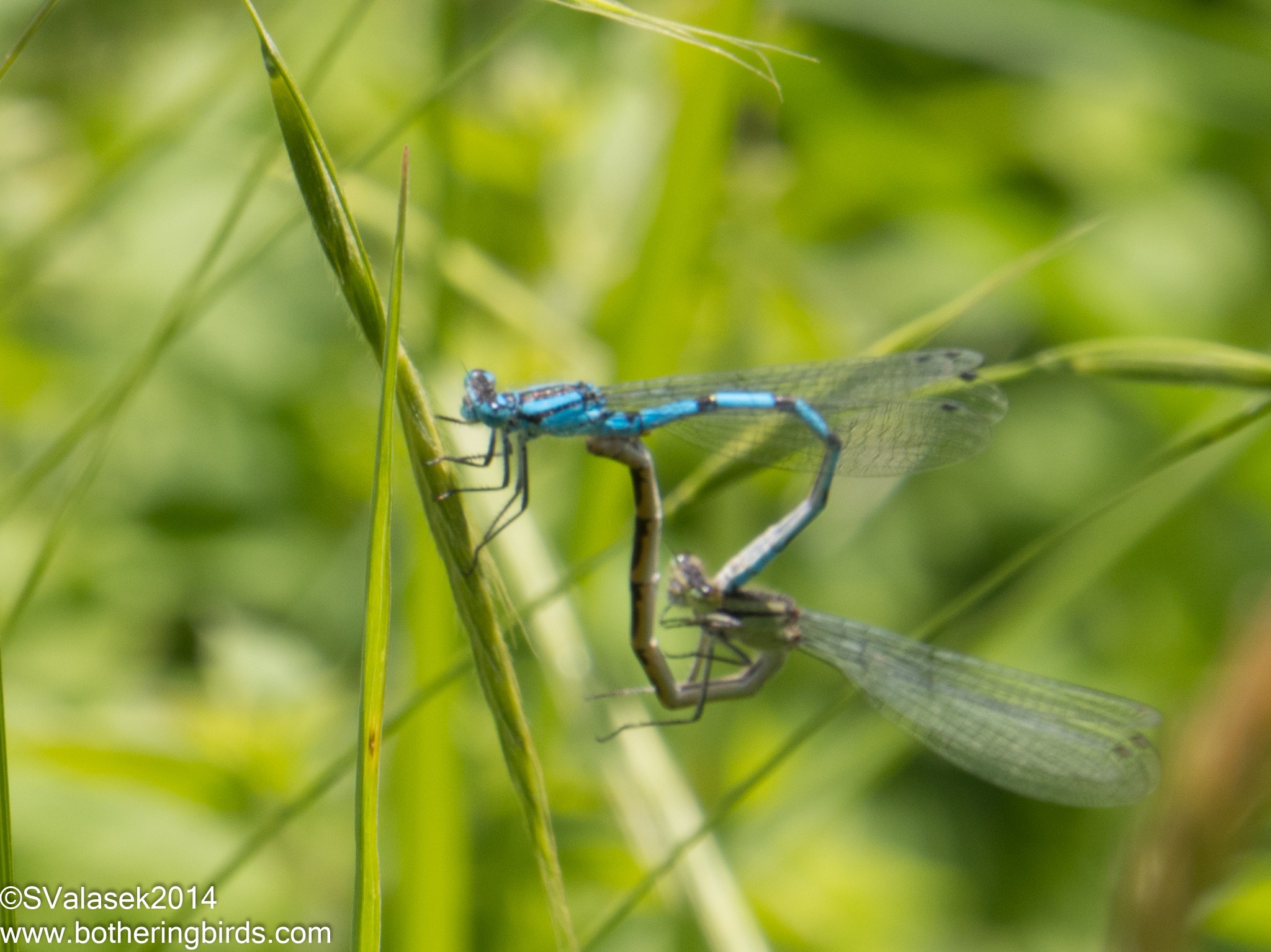 B is for Damselflies