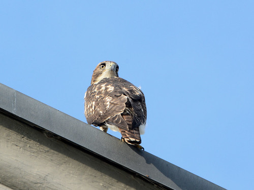 Cathedral Hawk Fledgling - 3333
