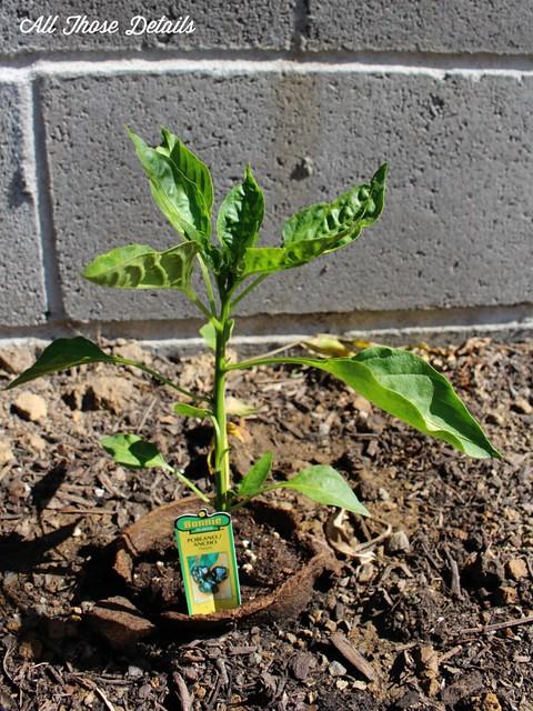 Serrano plant
