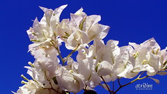 Arizona White Bougainvillea Brilliance