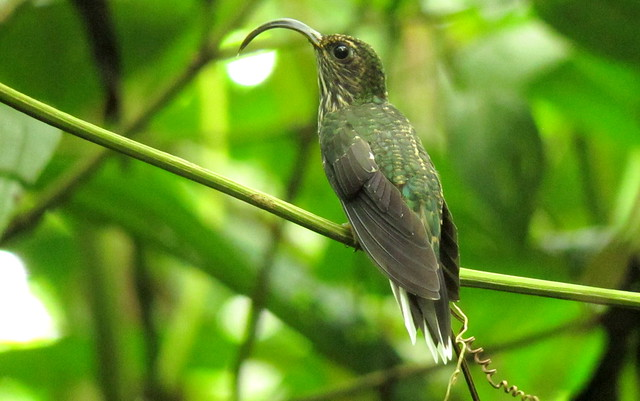 White-tipped Sicklebill - Eutoxeres aquila - Abibe, W Andes