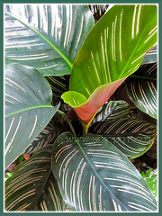 Luxuriant Calathea ornata 'Sanderiana' at our courtyard, 16 Dec 2013