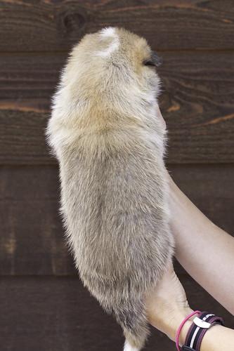 Anya-Litter1-20Days-Puppy1(Male)b