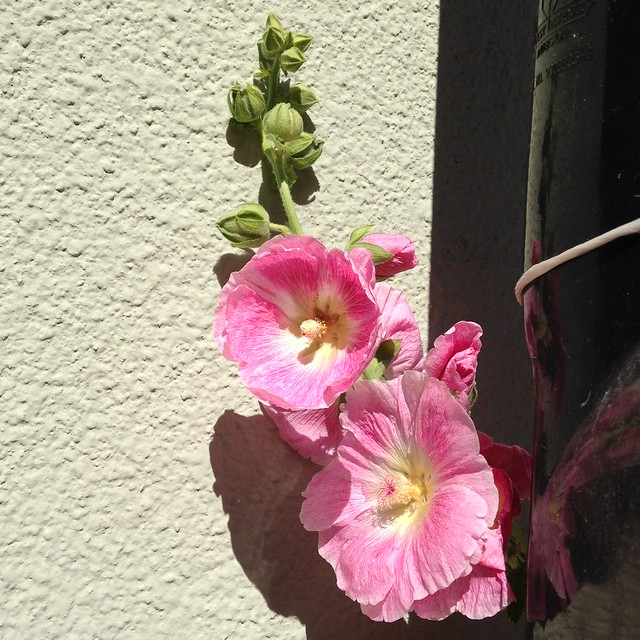 Hollyhock outside my house
