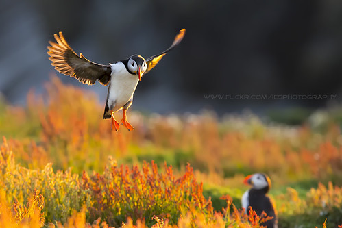 Flying Puffin Skomer Island Wales 2014