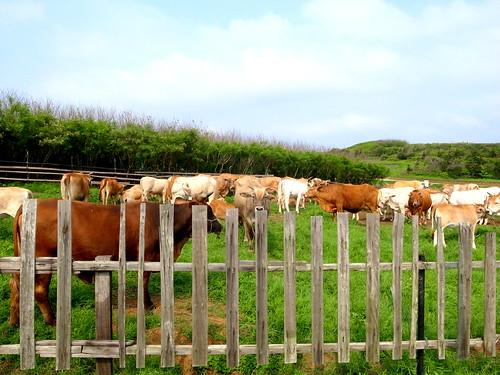 源頭-澎湖自然放牧牛