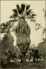 "Image from page 41 of ""The ornamental trees of Hawaii"" (1917)"
