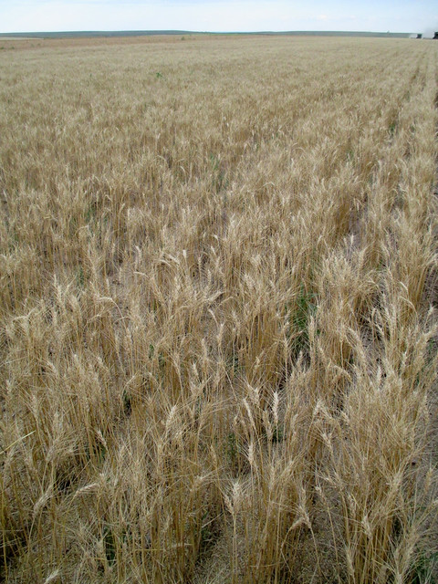 this wheat is matters of the hail