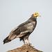 Egyptian Vulture by Koshyk