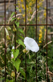 Convolvulus on the fence...