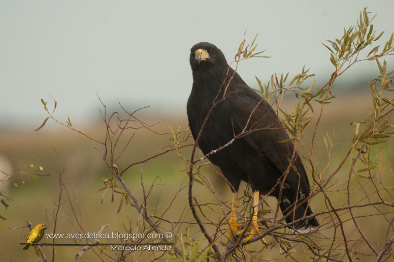 Águila negra (Great black Hawk) Buteogallus urubitinga