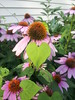 Aww, this vine loves coneflower