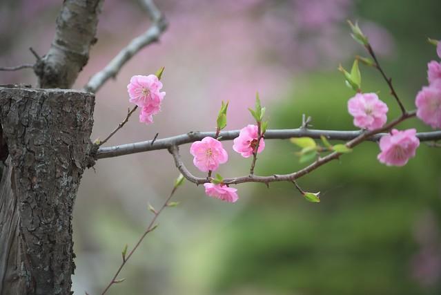 plum blossom 11