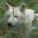 Een van de arctische wolven in het Wolvencentrum in Bilstain