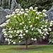 White Hortensia-Hydrangea