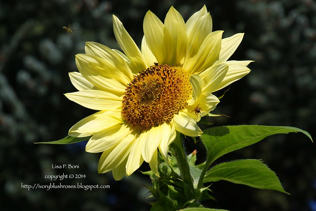 2014.08.12SunflowerBees