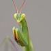 Mantis religiosa - Mante religieuse