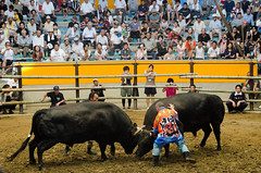 Uwajima Bull Fights
