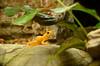 Golden Frog… endangered