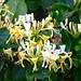 Lonicera periclymenum - Caprifoliaceae - Chèvrefeuille des bois - Vesdun - Cher -Berry - Centre - France