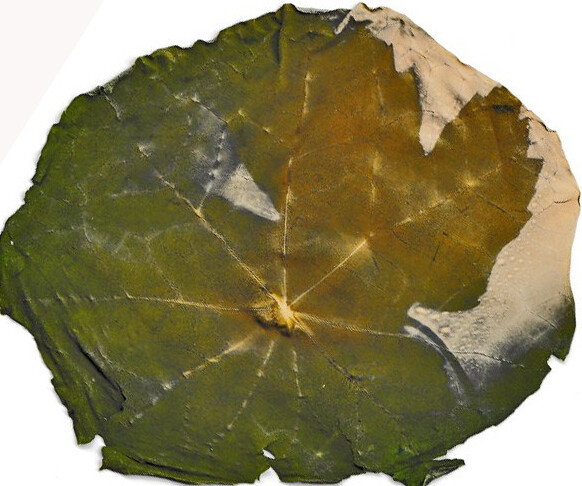 blatt chlorophyllotypie 3