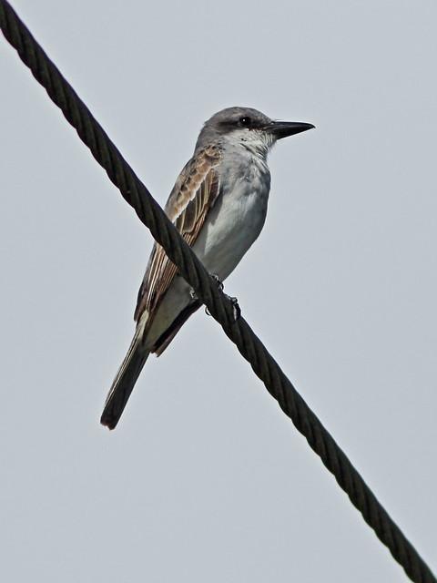 Gray Kingbird -Tyrannus dominicensis 06-20140824