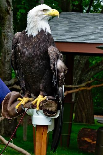 Bald Eagle at the Zoo